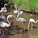 Graceful flamingos by Behappyaveiro