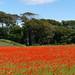 Poppy field, Lower Largo
