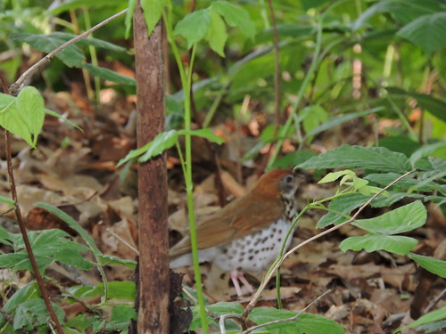 Wood Thrush #86 Lifer #133