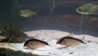 2 Skunk cory catfish, small fish with a pale stripe down their back with a black stripe on either side of it, and two diamond tetra, shimmery silver fish. The tetras are blurry while the catfish are in focus