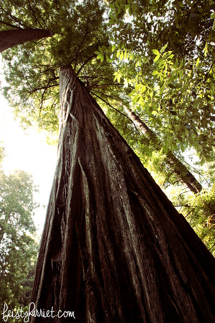 Muir Woods National Monument_feistyharriet_July 2015 (9)