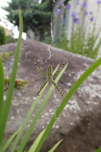 ナガコガネグモ