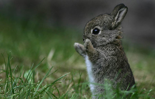 Baby cottontail rabbit - photo#2