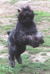 dog breed, animal, dog, pet, bouvier des flandres, cairn terrier, affenpinscher, carnivoran, terrier,