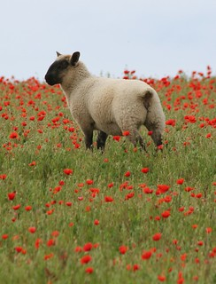 Poppies and Sheep