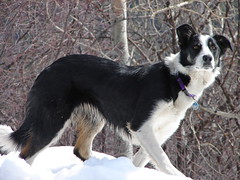 russo-european laika(0.0), east siberian laika(0.0), miniature australian shepherd(0.0), border collie(1.0), dog breed(1.0), animal(1.0), lapponian herder(1.0), dog(1.0), pet(1.0), karelian bear dog(1.0), mammal(1.0),