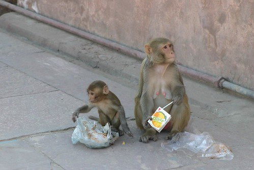 Urban monkeys