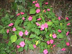annual plant, shrub, flower, plant, wildflower, flora, busy lizzie, petal,