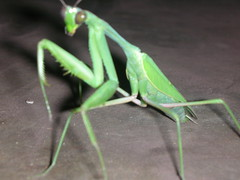 arthropod, animal, cricket-like insect, invertebrate, macro photography, mantis, grasshopper, green, fauna,