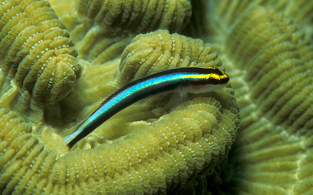 Sharknose Goby on Brain Coral