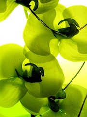 """orchidée au """"vert"""""""