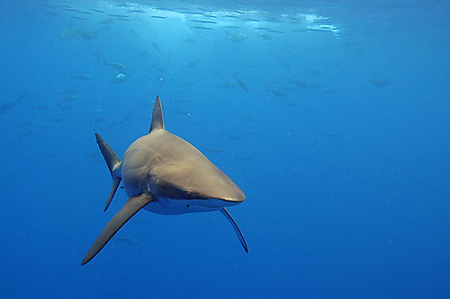Curious Bronze Whaler or Agonistic Silky Shark?