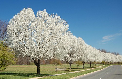 many, many gorgeous flowering trees by Steve from NJ