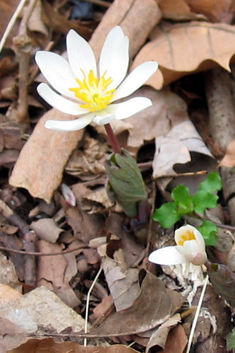 Sanguinaria canadensis, bloodroot / Bluegrass, Kentucky