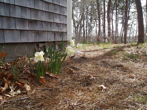 Ella's daffodils