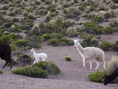 grazing(0.0), alpaca(1.0), animal(1.0), mammal(1.0), llama(1.0), herd(1.0), fauna(1.0), vicuã±a(1.0), guanaco(1.0), wildlife(1.0),
