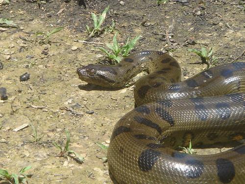 Amazon Rainforest Anaconda Snake