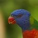 Rainbow Lorikeet (Trichoglossus haematodus) by RobRoyAus