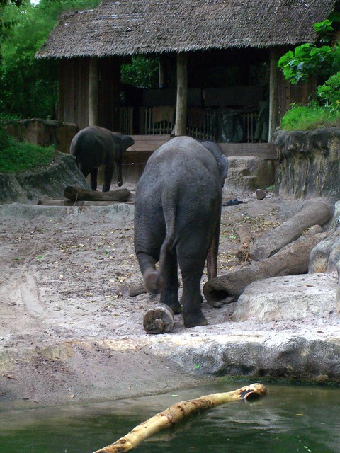 Elephant ass flickr photo sharing - Elephant assis ...