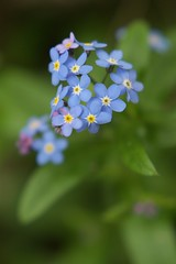 flower, plant, nature, macro photography, wildflower, flora, forget-me-not, petal,