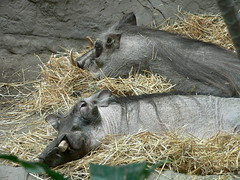 animal, zoo, pig, fauna, pig-like mammal, warthog,