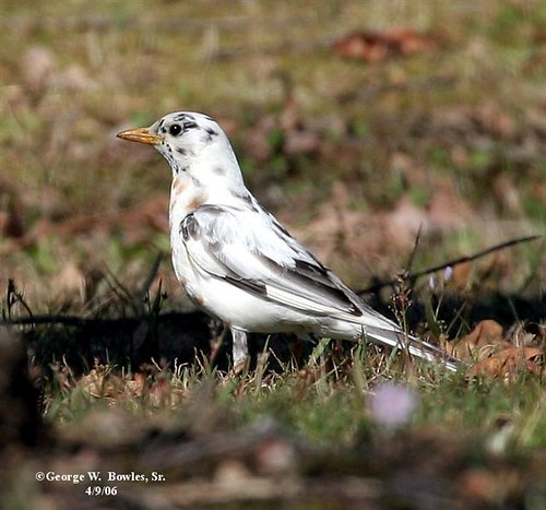 Partial albino Robin by George W Bowles Sr