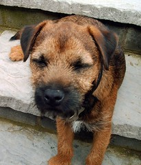 street dog(0.0), irish terrier(0.0), airedale terrier(0.0), dog breed(1.0), animal(1.0), puppy(1.0), dog(1.0), pet(1.0), norfolk terrier(1.0), mammal(1.0), border terrier(1.0), patterdale terrier(1.0), terrier(1.0),