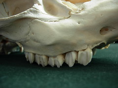 tooth, macro photography, close-up, bone, skull,