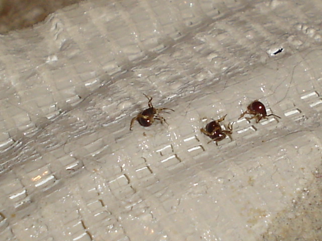Immature Bed Bugs