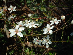 shrub, flower, branch, nature, flora, prunus spinosa,