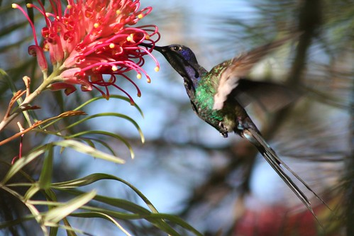 Beija-flor Tesoura (Eupetomena macroura) - Swallow-tailed Hummingbird 39 166 - 10