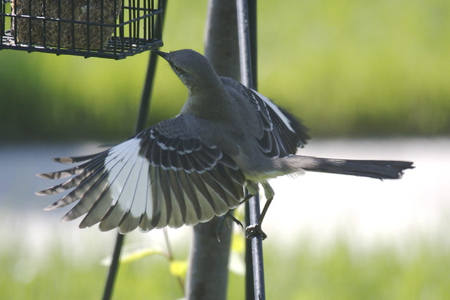 Jumping for some suet.