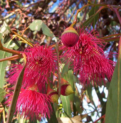 Eucalypt flowers
