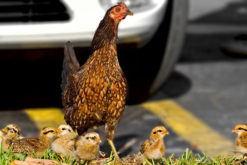 Urban Mama Chicken