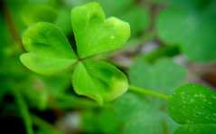 annual plant, trifolieae, clover, leaf, macro photography, herb, flora, green, close-up, plant stem,