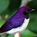 Violet-backed Starling (Cinnyricinclus leucogaster) by jaki good miller