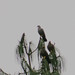 Small photo of African Olive Pigeon