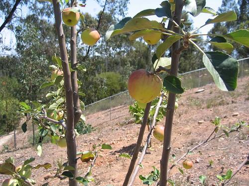 Fruit Trees 001