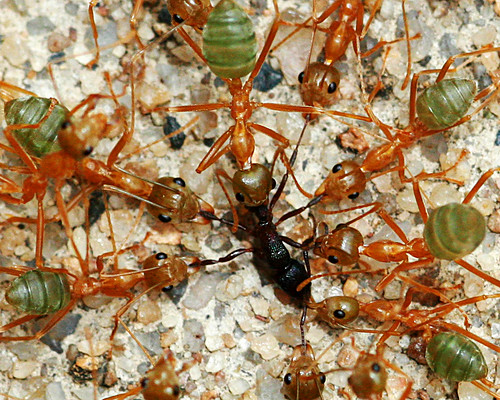 Green_Ant_Feeding2