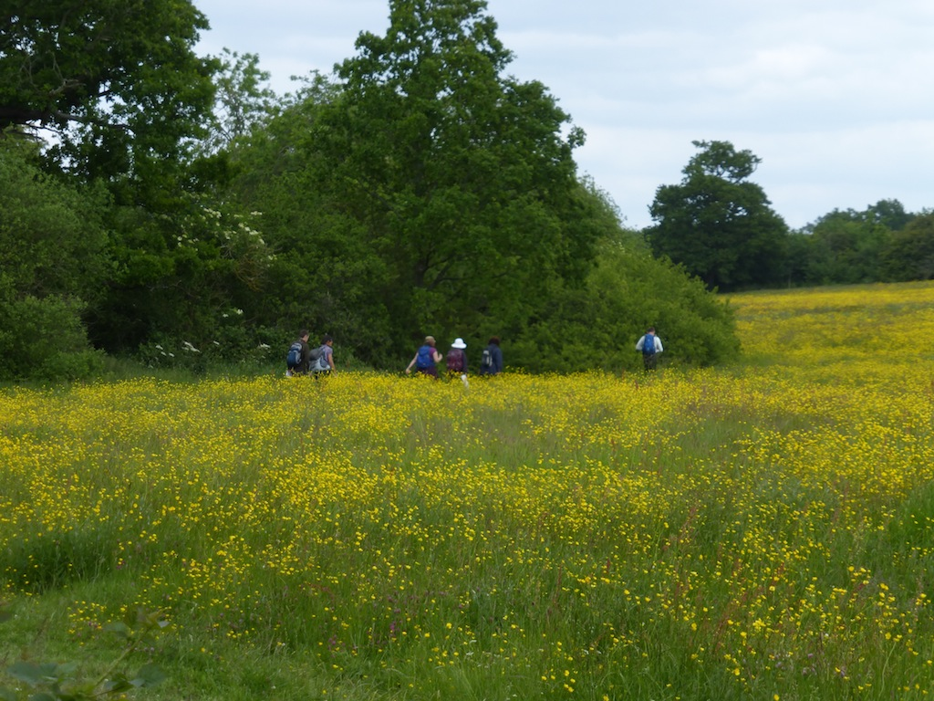 Buttercups after lunch, June Totteridge Circular walk