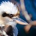 Laughing Kookaburra by Andy Burton Oz