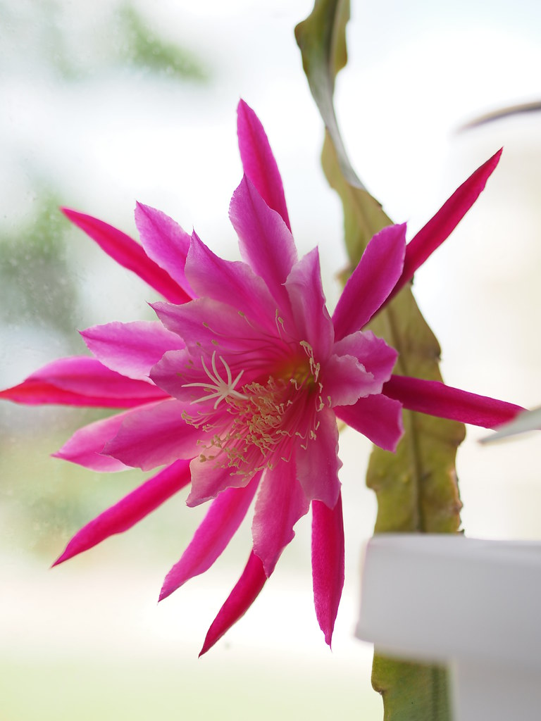 Epiphyllum 'Midnight'