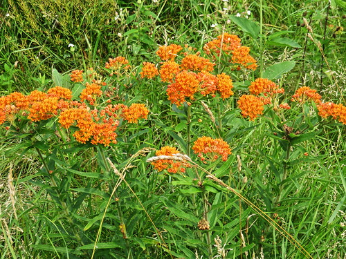 Butterfly Weed 20150706