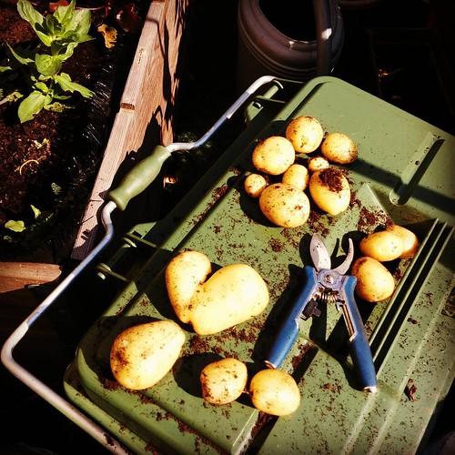 De patattenoogst van 2015. Iets minder dan de verwachte drie kilo, hmz. Maar ze waren yummie! 😏#balkontuin #oogstvandedag