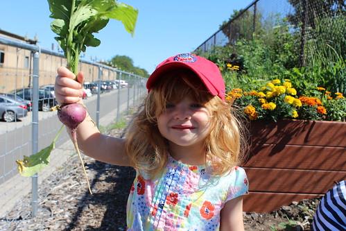 Garden 7/21/2015 (radish!)