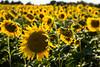 Camargue sunflowers 2 by David Crook
