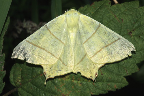 Swallowtail 0209