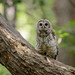 Barred Owl-44054.jpg by Mully410 * Images