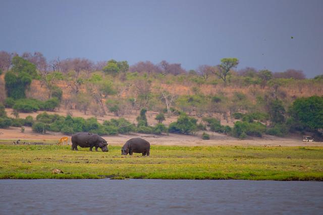 Hippos on the island