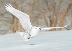 Harfang des neiges - Bubo scandiacus - Snowy Owl
